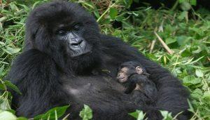 gorilla-Tour (1)