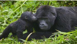 gorilla-kisses (1)