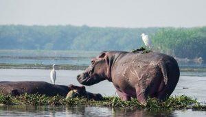 murchison-falls-national-park-uganda-safari-hippos (1)